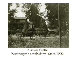 Durham cattle, Worthington cattle drive circa 1900.